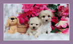Maltese Puppy For Sale in SAN JOSE, CA, USA