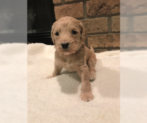 Labradoodle-Poodle (Standard) Mix Puppy for Sale in APPLE CREEK, Ohio USA