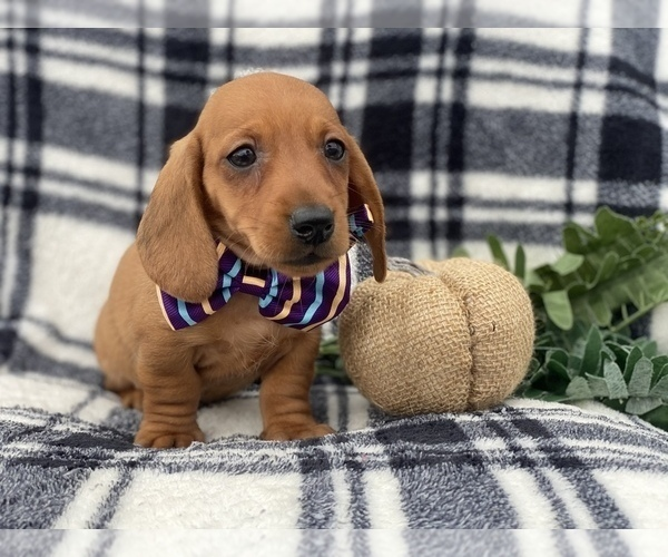View Ad: Dachshund Puppy for Sale near Belgium