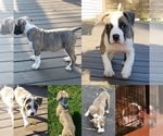 Puppy 2 American Bully Mikelands