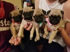 Pug Puppy For Sale in FORT LUPTON, CO, USA