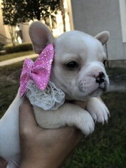 French Bulldog Puppy For Sale in TAMPA, FL, USA