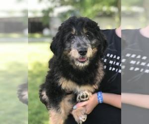 F2 Aussiedoodle Dog for Adoption in WORTHINGTON, Indiana USA