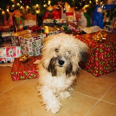 Havanese Puppy For Sale in HENDERSON, NV