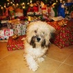 Havanese Puppy For Sale in HENDERSON, NV