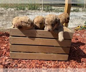 Chesapeake Bay Retriever Puppy for sale in CODY, WY, USA