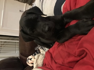 Great Dane Puppy For Sale in BORDEN, IN, USA