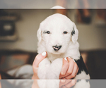 Puppy 2 Sheepadoodle