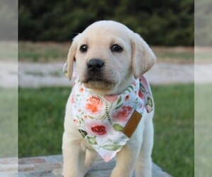 Labrador Retriever Puppy for sale in ARLINGTON, KS, USA