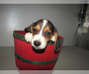 Beagle Puppy for sale in ALPHA, MI, USA