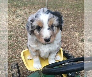 Australian Shepherd Puppy for sale in HAVEN, KS, USA