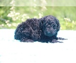 Small #31 Poodle (Standard)