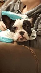 French Bulldog Puppy For Sale in FARMINGTON, MO