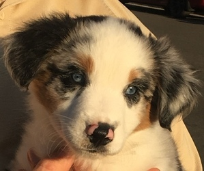 Australian Shepherd Puppy for Sale in JURUPA VALLEY, California USA