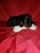 Rottweiler Puppy For Sale in FIRST CONSUMERS NAT BANK, OR, USA