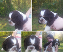 Cocker Spaniel Puppy For Sale in CENTRAL, IN, USA