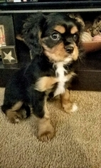 Cavalier King Charles Spaniel Puppy For Sale in BROWNSVILLE, PA, USA