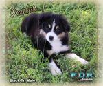 Dealer Mini Black Tri Male Aussie