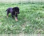 Puppy 6 German Shepherd Dog-Greater Swiss Mountain Dog Mix