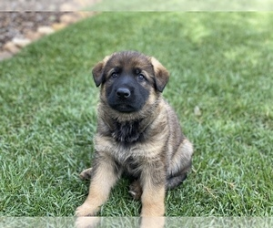German Shepherd Dog Puppy for Sale in OJAI, California USA