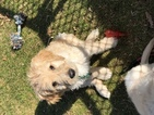 Goldendoodle Puppy For Sale in MESA, Arizona,