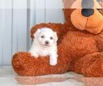 Carley The Maltese Puppy