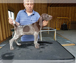 German Shorthaired Pointer Puppy For Sale in NORTH JUDSON, IN, USA
