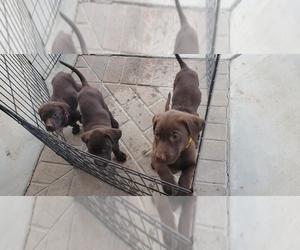 Labrador Retriever Puppy for sale in AGUANGA, CA, USA