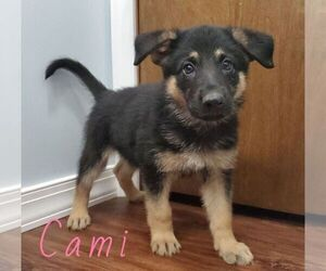 German Shepherd Dog Puppy for Sale in CROWN CITY, Ohio USA