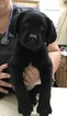 Labrador Retriever Puppy For Sale in BONNERDALE, AR, USA