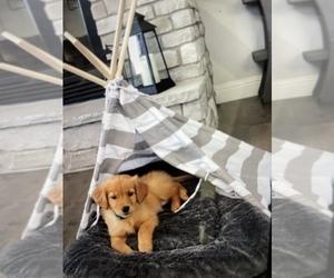 Golden Retriever Puppy for sale in BATTLEFIELD, MO, USA