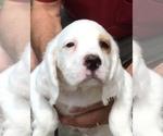 Puppy 1 English Setter