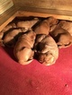 Golden Retriever Puppy For Sale in PONTOTOC, MS, USA