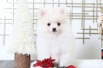 Pomeranian Puppy For Sale in BEL AIR, MD,