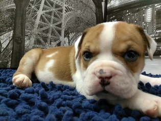 Bulldog Puppy For Sale in ORLANDO, FL