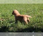Puppy 12 Golden Retriever