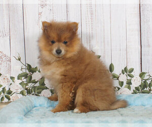 Pomeranian Puppy for sale in PENNS CREEK, PA, USA