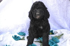 Poodle (Standard) Puppy For Sale in ONAGA, KS, USA