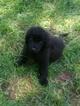 Newfoundland Puppy For Sale in TRUSSVILLE, AL,