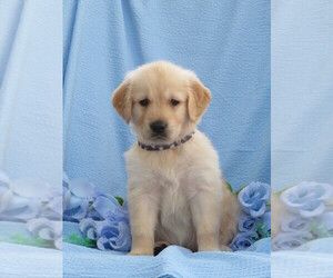 Golden Retriever Puppy for Sale in MECHANICSVILLE, Maryland USA