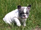 French Bulldog Puppy For Sale in CHINA SPRING, TX