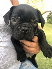 French Bulldog Puppies and Dogs for Sale in Bakersfield, CA, USA