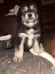 Tibetan Mastiff Puppy For Sale in DRESHER, PA