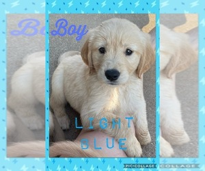 Golden Retriever Puppy for sale in TEMPLE, TX, USA