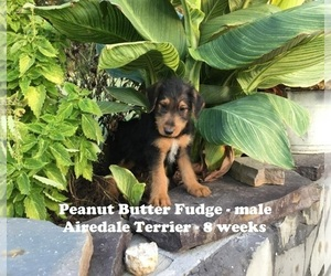Airedale Terrier Puppy for sale in ALPHA, KY, USA