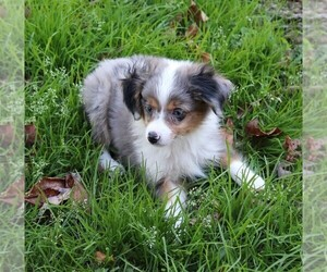 Miniature Australian Shepherd Puppy for Sale in MARION CENTER, Pennsylvania USA