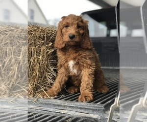 Goldendoodle-Poodle (Standard) Mix Puppy for Sale in MBORO, Tennessee USA