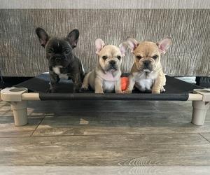 French Bulldog Puppy for sale in MESA, AZ, USA