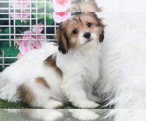 Cavapoo Dog for Adoption in MARIETTA, Georgia USA
