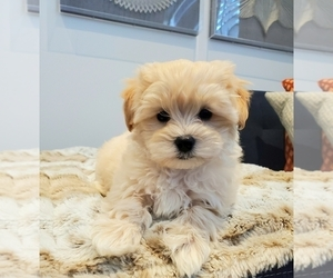 Maltipoo Puppy for sale in ROSEVILLE, CA, USA